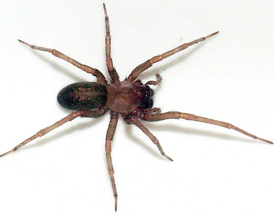 First shots ever of museum's venomous squatters | Yle ... |Chilean Recluse